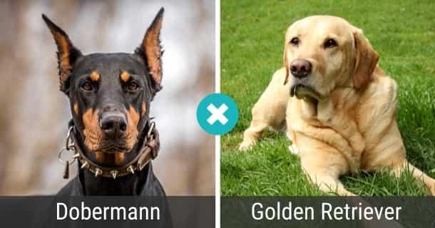 Dobermann Golden Retriever Mix