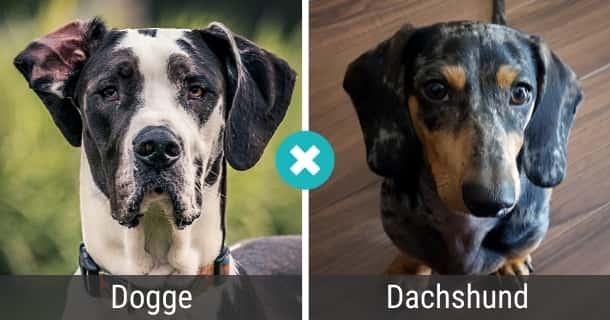 Dogge Dackel Mischling
