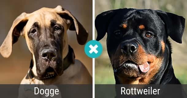 Dogge Rottweiler Mischling