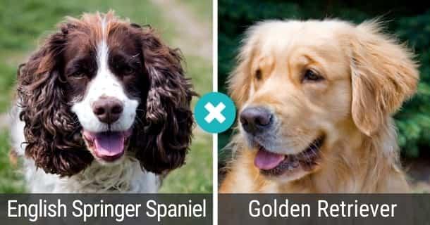 English Springer Spaniel Golden Retriever Mix