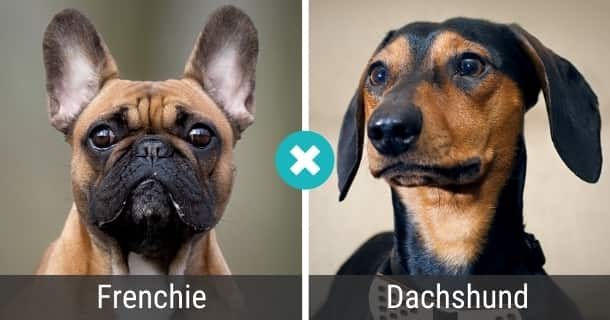 Frenchie Dackel Mix