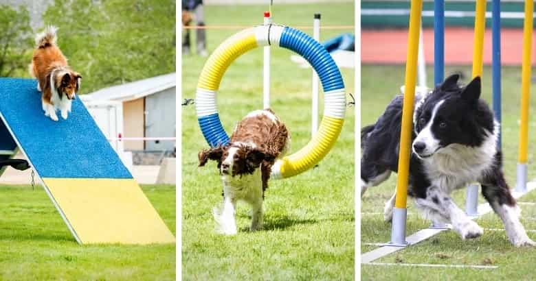 Gelb-blaue Hindernisse bei Hunde-Wettbewerben