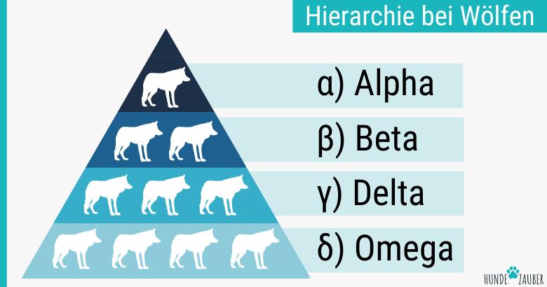 Hierarchie bei Wölfen