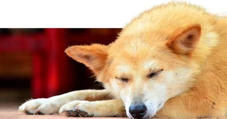 Hund am Liegen