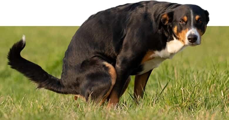 Hund beim Stuhlgang