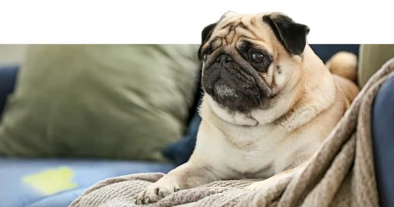Hund, der ins Haus gepinkelt hat