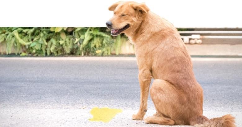 Hund hat Urinpfütze hinterlassen