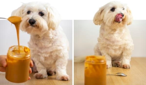 Hund isst Erdnussbutter