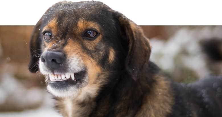 Hund knurrt