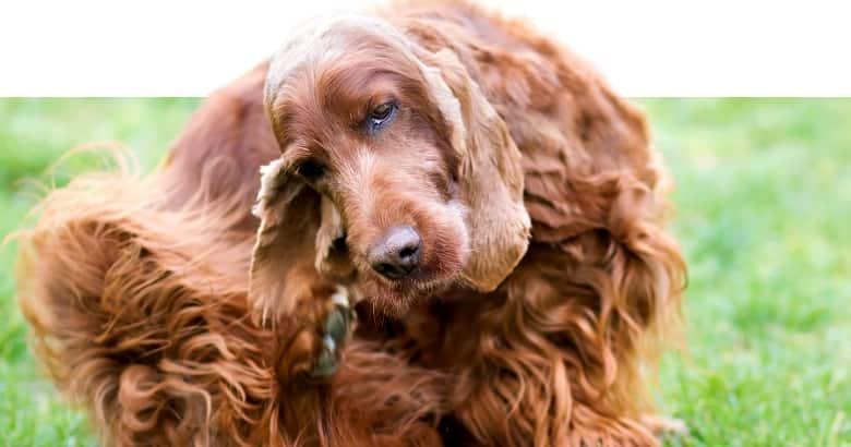 Hund kratzt sich am Maul