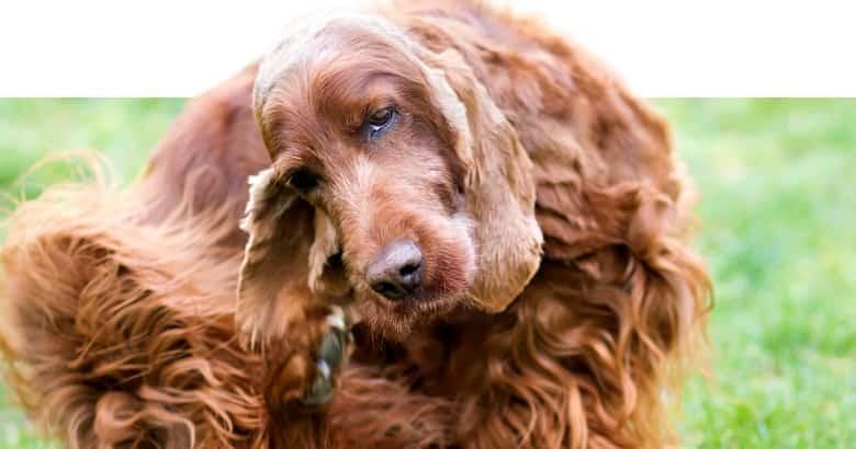 Hund kratzt sich am Ohr