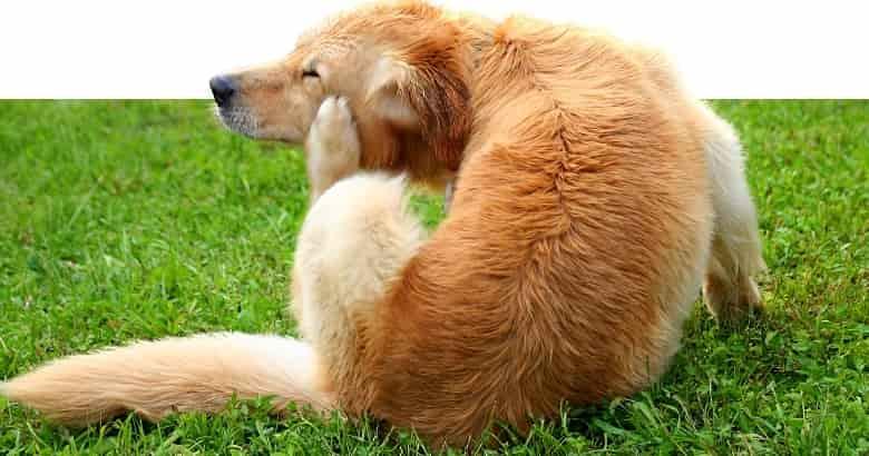 Hund kratzt sich an der Schnauze