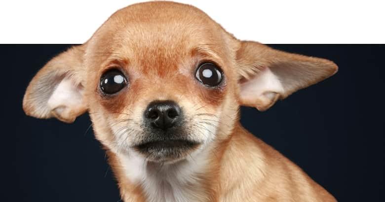 Hund legt Ohren nach hinten