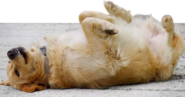 Hund liegt auf Rücken