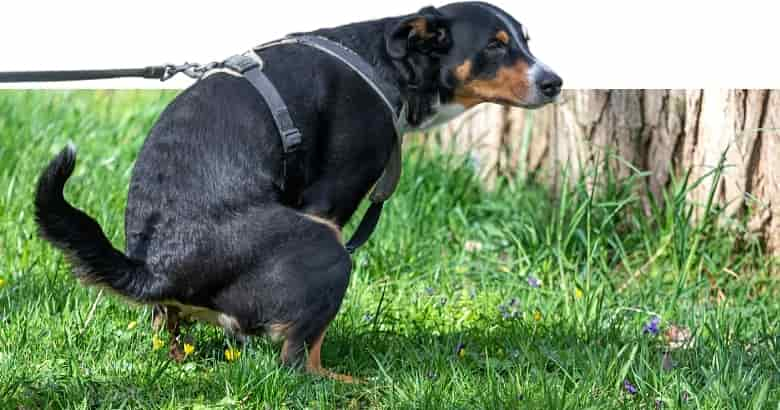 Hund mit Durchfall