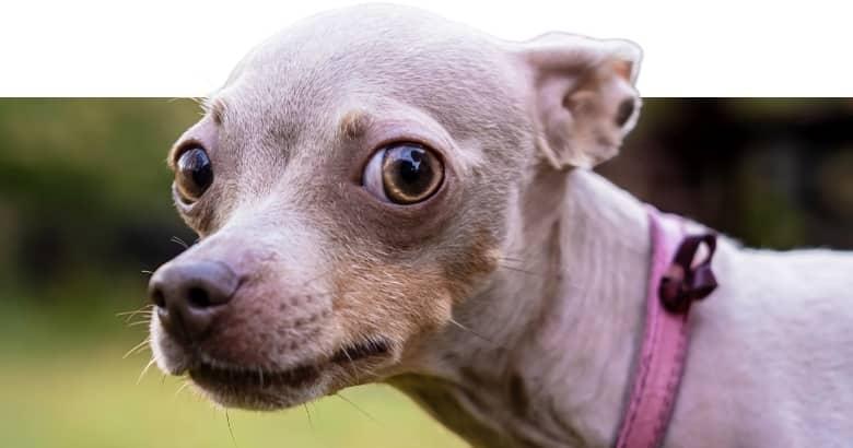 Hund mit nach hinten gelegten Ohren