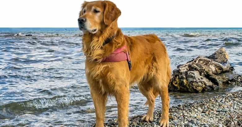 Hund mit nach unten hängender Rute