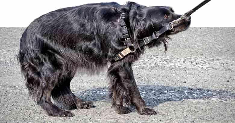 Hund zieht Rute ein