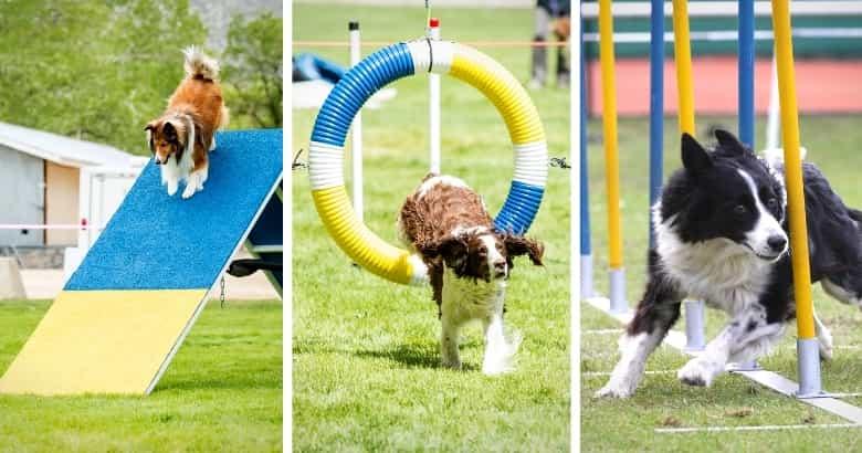 Hunde-Wettbewerb mit blau-gelben Hindernissen