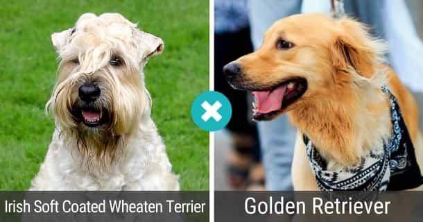 Irish Soft Coated Wheaten Terrier Golden Retriever Mix