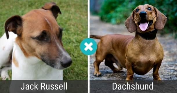 Jack Russell Dackel Mix