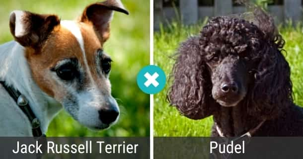 Jack Russell Terrier Pudel Mix