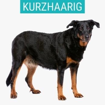Kurzhaarige Schäferhunde