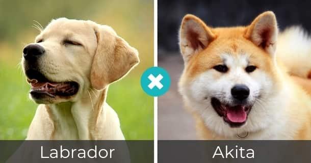 Labrador Akita Mischling