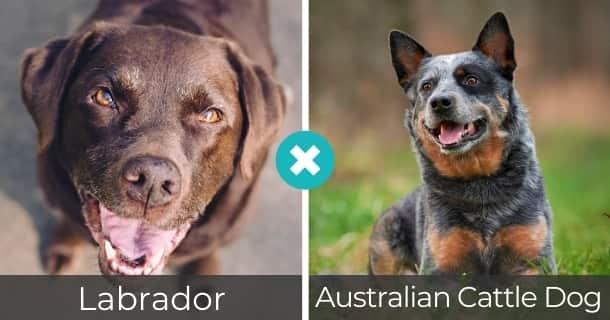 Labrador Australian Cattle Dog Mischling