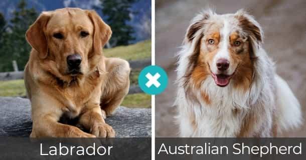 Labrador Australian Shepherd Mischling