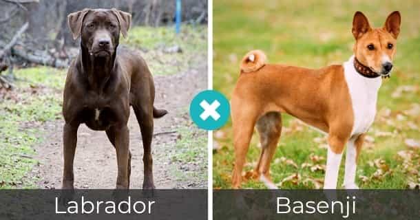 Labrador Basenji Mischling