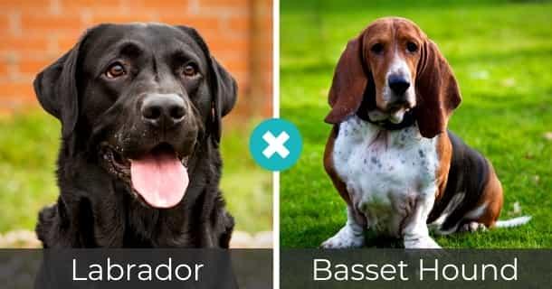 Labrador Basset Hound Mischling
