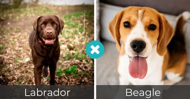 Labrador Beagle Mischling