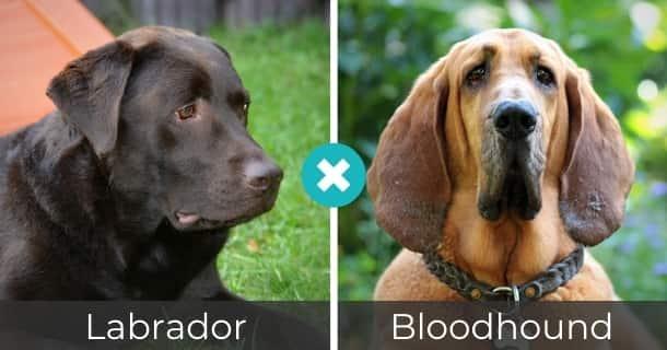 Labrador Bloodhound Mischling