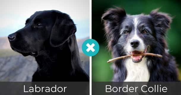 Labrador Border Collie Mischling