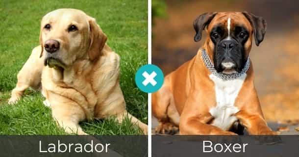 Labrador Boxer Mischling