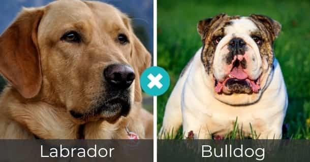 Labrador Bulldog Mischling