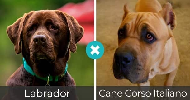 Labrador Cane Corso Italiano Mischling