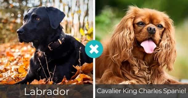 Labrador Cavalier King Charles Spaniel Mischling