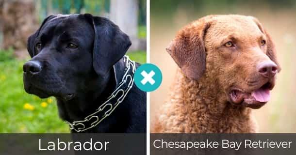 Labrador Chesapeake Bay Retriever Mischling
