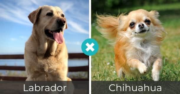 Labrador Chihuahua Mischling