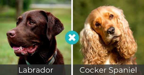 Labrador Cocker Spaniel Mischling