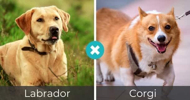 Labrador Corgi Mischling