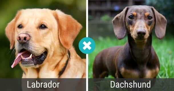 Labrador Dackel Mischling