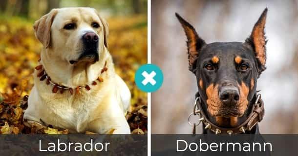Labrador Dobermann Mischling