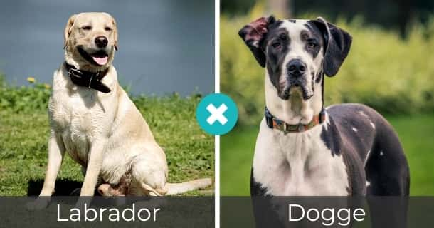 Labrador Dogge Mischling