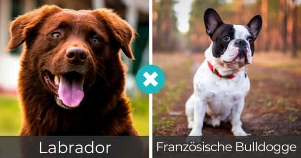 Labrador Französische Bulldogge Mischling