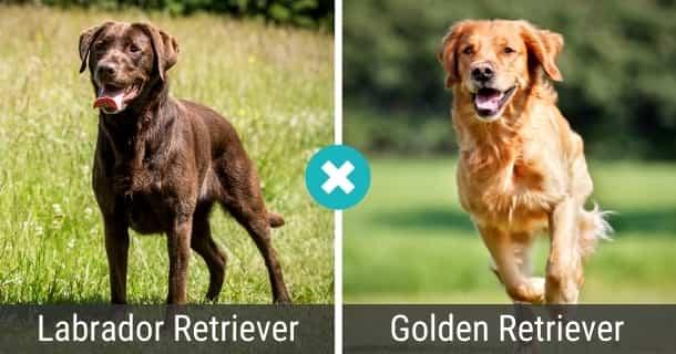Labrador Golden Retriever Mix
