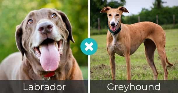 Labrador Greyhound Mischling