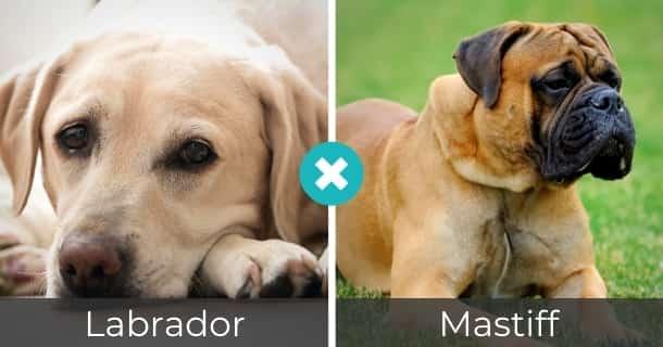 Labrador Mastiff Mischling